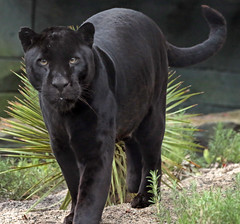jaguar Mowgli artis BB2A2315 (j.a.kok) Tags: jaguar blackjaguar mowgli artis predator mammal zoogdier kat cat pantheraonca zuidamerika southamerica