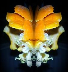 Orange Tiger (rhonda_lansky) Tags: orange tigers rhondalansky lansky facial creations formations nature design abstractart visual plant abstractoutdoors outdoor mirroredshapes mirroredabstract mirrorart symmetryart symmetrical symmetricalart symmetryartist symmetricalartist expressive organicpattern texture art abstract rhonda surreal pattern organic poems shortstories storys writing faces fantasy tigercubs