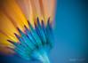 129   195 (Oxygene   Photo+Design) Tags: blue flower macro nature fleurs naturallight 2009 superaplus aplusphoto abcgroup mjdphoto© projetys