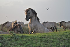 Appearing (Astrid van Wesenbeeck photography) Tags: horses nature netherlands animals wildlife nederland wildhorses stallion oostvaardersplassen hengst flevopolder konikhorses koniks konikpaarden sigmadg wildepaarden sonya200 astridvanwesenbeeck