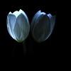 lightfall:  292/365 (helen sotiriadis) Tags: blue light white black flower macro reflection texture closeup canon dark mom published dof bokeh mother led depthoffield petal tulip 365 canonef100mmf28macrousm canoneos40d toomanytribbles
