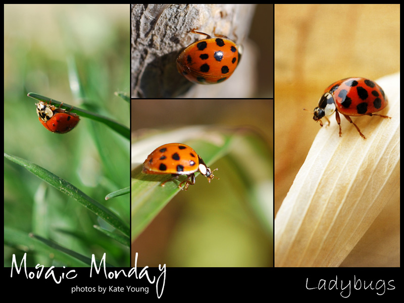 Mosaic Monday: Ladybugs