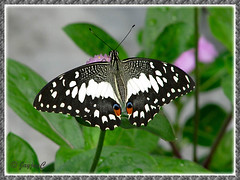 Papilio demoleus (Lime Butterfly) at our garden bed, October 22 2009