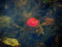 Underwater Leaf (Stanley Zimny (Thank You for 16 Million views)) Tags: park autumn trees red tree fall nature water colors leaves automne catchycolors leaf colorful colours underwater waterlily seasons natural fallcolors autumncolors fourseasons autumnal colorexplosion 4seasons
