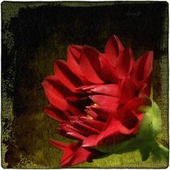 Quello che le parole non sanno dire (in eva vae) Tags: light red stilllife black flower macro art eva shadows bud fiore textured oa gpc postprocessing bocciolo selectbestfavorites inevavae