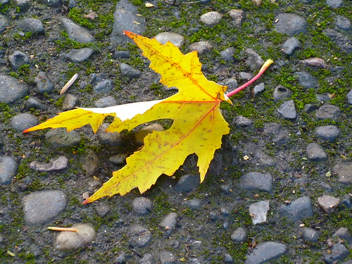 yellow leaf takes a bow