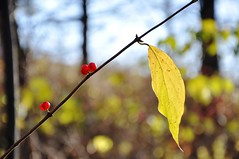 berrykeh (christiaan_25) Tags: blue autumn red brown black color green fall yellow fruit leaf berries bokeh twig lastcall winterscoming hbw