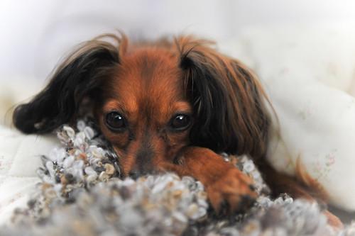 フリー画像| 動物写真| 哺乳類| イヌ科| 犬/イヌ| ロシアントイテリア|      フリー素材|
