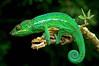 Furcifer pardalis - La Reunion (ach_gecko) Tags: ocean reunion indian vert lizard gecko chameleon phelsuma lezart borbonica inexpectata