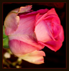 A rose for a rose. (Patricia Speck) Tags: birthday pink rose bokeh framed tricia patricia speck