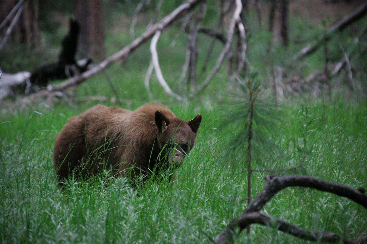 Yosemite Bear