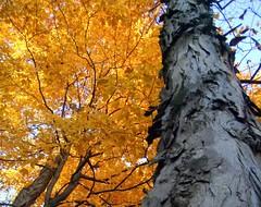partners (trealeaves) Tags: autumn trees sky orange fall nature leaves outside leaf bark trunk olivet perryfarm bourbonnais