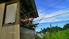 padi blg14 (KaryaWan.org) Tags: green field lumix rice paddy padi brunei sawah lx3