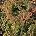 Scotch Heather, Calluna vulgaris 'Robert Chapman'