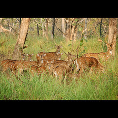 say cheese... (sash/ slash) Tags: travel tourism forest wildlife sash spotted deers tamilnadu masinagudi bandipur mudumalai sajesh