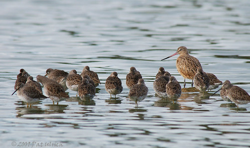 Dowitchers and a Godwit