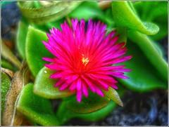 Florecita (HDR) (Fernando Reyes Palencia) Tags: guatemala flor hdr paisajesdeguatemala bellospaisajesdeguatemala fotosdeguatemala bellaguatemala paisajesdelmundo guatemalalandscapes fotosfernandoreyespalencia imagenesdeguatemala guatemalapaisajes postalesdeguatemala