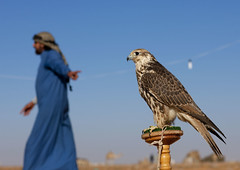 Ready to hunt - Saudi Arabia (Eric Lafforgue) Tags: bird animal desert falcon arabia chase saudiarabia oiseau falconry chasse ksa faucon saudiarabien arabie arabiasaudita kingdomofsaudiarabia  arabiesaoudite   suudiarabistan arabsaudi   saoediarabi arabiasaudyjska    ksa1422