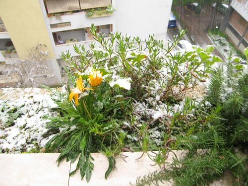 piccolo fiore giallo suicida