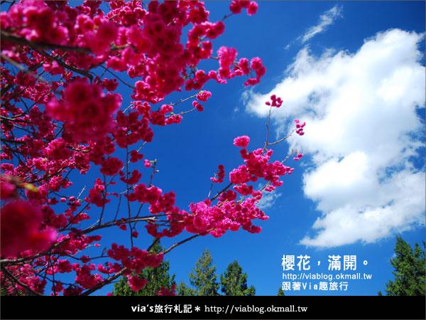 【九族櫻花季】櫻花滿開!最浪漫的九族文化村櫻花季20