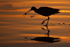 Long-billed Curlew Numenius americanus eating a sand crab at sunset (mikebaird) Tags: sunset bird wet strand golden sand things morro morrostrand curlew longbilledcurlew americanus longbilled numenius numeniusamericanus ongbilled