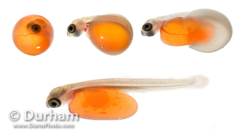 hatching salmon