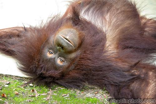 Glassy Eyed Orangutan