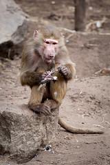 2010-03-14-10h32m52.272P4558l (A.J. Haverkamp) Tags: zoo thenetherlands amersfoort hamadryasbaboon papiohamadryas dierentuin dierenparkamersfoort mantelbaviaan httpwwwdierenparkamersfoortnl canonef100400mmf4556lisusmlens