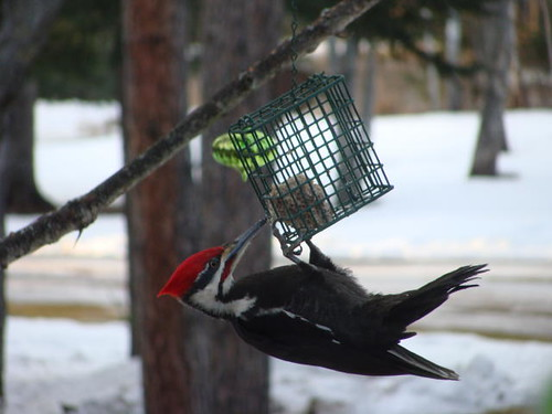 Woodpecker invasion!