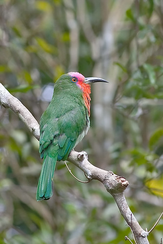 Red-bearded Bee-eater 赤鬚夜蜂虎