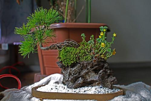 bonsai de roca en flor