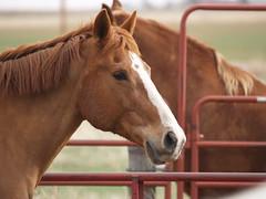 Calliope, Belgian/TB Cross (lostinfog) Tags: march 2010 calliope colorado e300 horse