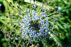 bursting with spring (~Staci Lee~) Tags: blue flower spring burst