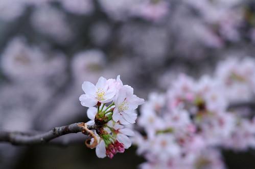 Sakura of Year 2010 / 2010年の桜
