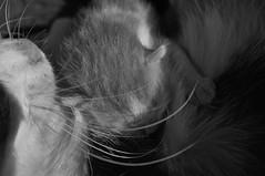 Malpi (La Berta filava) Tags: love cat chat mother teresa tender gatta