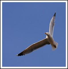 Seagull Ballet. (Itotti69) Tags: blue sky white bird blanco nature animal azul heaven seagull cel natura cielo alas vol blau blanc gaviota ales plumes pájaro 2010 vuelo plumas gavina ocell favorites5 totti69totti theoriginalgoldseal