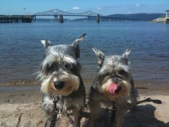 Wish You Were Here (CatPeters) Tags: dog schnauzer hudsonriver sleepyhollow tappanzeebridge