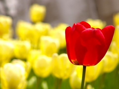 red on yellow (hamapenguin) Tags: park red flower nature yellow japan spring tulip yokohama