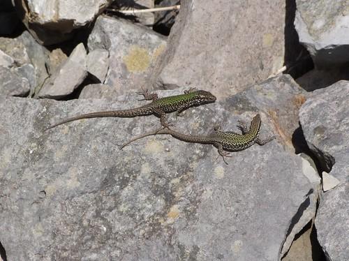 Wall Lizard (4)