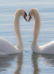 Mute Swans (Phiddy1) Tags: naturesfinest specanimal mywinners theunforgettablepictures natureselegantshots thewonderfulworldofbirds thebestofmimamorsgroups mygearandmepremium mygearandmebronze