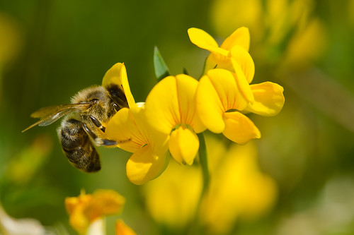 Bee Busy with Birdsfoot trefoil