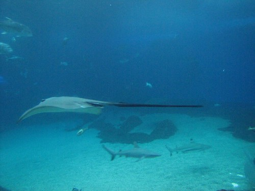 manta rays are graceful