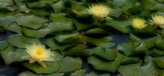 Water Lillies (SamKirk9) Tags: colour yellow garden botanical morroco marrakech majorelle waterlillies contrasts orton majorelleblue lejardinmajorelle jacquesmajorelle