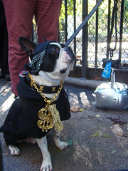 bling dog (istolethetv) Tags: nyc newyorkcity dog eastvillage newyork photo foto image awesome lowereastside snapshot picture photograph gothamist bling  animale dogrun howloween  tompkinssquarepark halloweencostumes halloweendogs dogcostumes dogcostume halloweendog halloweendogparade costumeddog dogwearingclothes newyorkdogs eastvillagedogparade halloweenhowl doginacostume blingdog decoratedanimal doghalloweencostumes halloweendogcostume tompkinssquareparkhalloweendogparade howlloween canetravestito caneincostume halloweencostumesfordogs halloweendogcostumecontest halloweendogparade2009 2009tompkinssquareparkhalloweendogparade 2009eastvillagedogparade blingdogcostume doginahalloweencostume 19thannualtompkinssquarehalloweendogparade