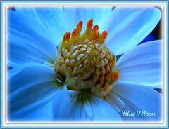 ~~ Blue moon ~~ (Brenda Boisvert .) Tags: dahlia blue white flower macro exposition bluemoon tungstenlight maygarden anawesomeshot flickrsawesomeblossoms kunstplatzlinternational brendamb naturescarousel 『』frameit『』