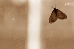 Moth (osteras) Tags: sepia butterfly moth week43 nikond90 297365 project3661 52of2009 5212of2009