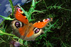Peacock Butterfly (insect's eye lens) (masahiro miyasaka) Tags: japan butterfly insect peacockbutterfly insectseyelens