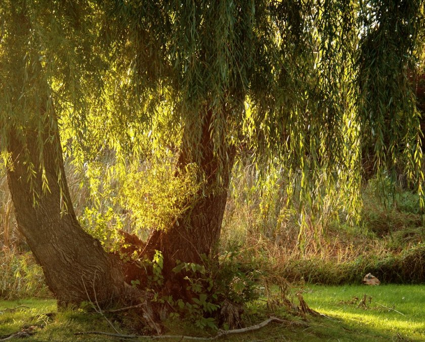 YC Weeping Willow-ed1