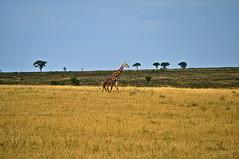 Girafe walking (Littlelimace) Tags: wild animal tanzania nationalpark safari serengeti plain girafe savanna conservationarea eastafrica northserengeti northernserengeti