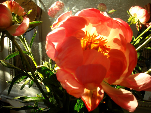 Sunlight Through Peonies